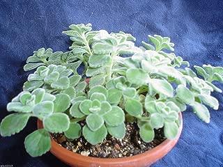 1000 Seeds Broad Leaf Thyme AKA Cuban Oregano, Spanish Thyme, Mexican Thyme !