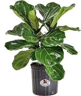 calathea orbifolia buy online