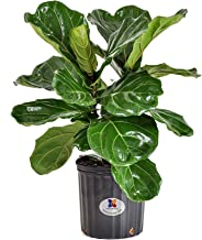 United Nursery Ficus Lyrata Tree Live One Stem Indoor Plant Fiddle-Leaf Fig 24-34