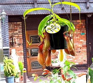 【 花想久里 はなおくり ウツボカズラ 5寸 生 】 ネペンテス リンダ 食虫植物 ぶらさがった奇妙な姿が 人気 の 観葉植物 学名 ネペンテス・リンダ 和名 ヒョウタンウツボカズラ