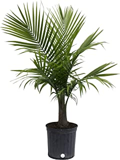Costa Farms Majesty Palm Live Indoor Plant 3 to 4-Feet Tall, 3-Foot