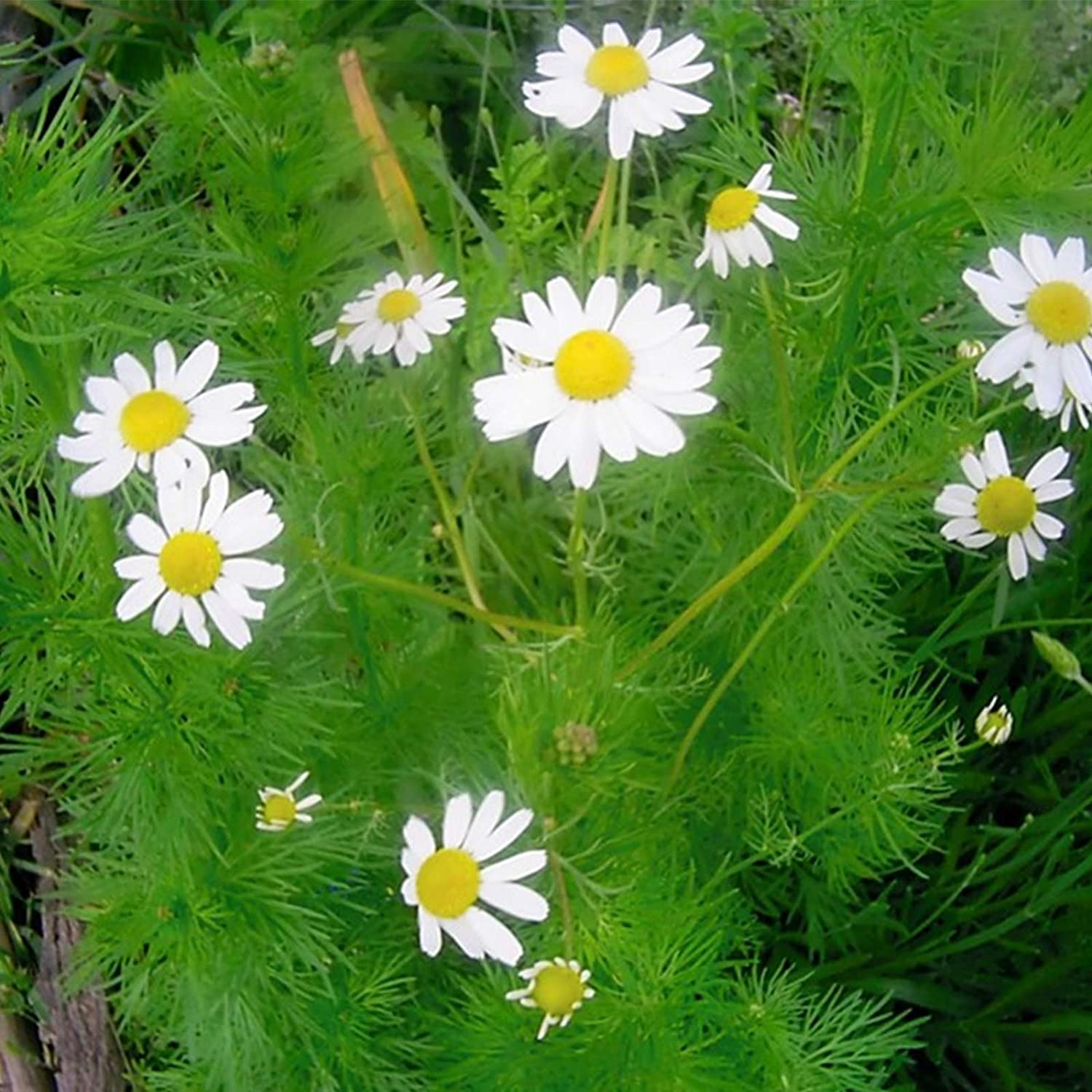 German Chamomile Popular overseas hẹrb S-E-E-D Order National products 200+ W Marigolds