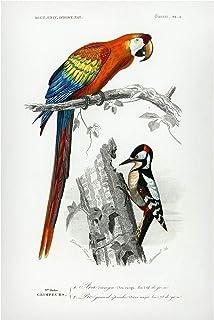 Bilderwelten Pizarra magnética - Vintage Board Parrot Red Blue 60x40cm