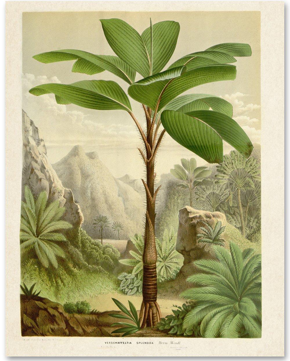 Verschaffeltia Splendida Palm Botanical Industry No. 1 11x14 - Product Illustration Unf