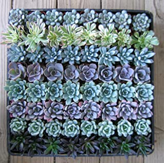 Shop Succulents   Radiant Rosette Collection of Live Succulent Plants, Hand Selected Variety Pack of Mini Succulents   Collection of 20
