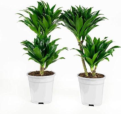 plante dépolluante dracaena negii cu ce unguente să trateze