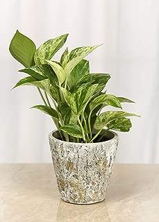 Live Golden Pothos in Stone-Bark Ceramic Container - 4 Inch Indoor Plant