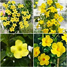 Yellow Mandevilla ~ Dipladenia ~ Vine Live Plant 12 inches Tall or More GND013