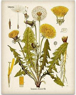 Dandelion Botanical Illustration - 11x14 Unframed Art Print - Great Home Decor and Gift for Gardeners Under $15