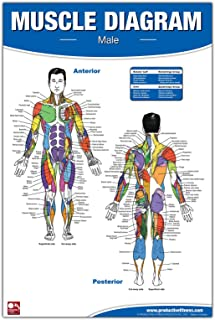Male Muscle Diagram