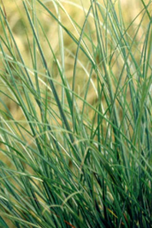 Adagio Maiden Grass-Showy Dwarf Grass Produces fine-Textured with Stylish with Narrow Leaves Rounded Shape. 3 Gallon Compact