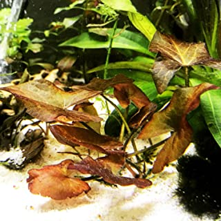 dwarf tiger lily aquarium