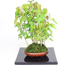 清香園 小さな森が楽しめる楓 カエデ 寄せ植え楓林の盆栽