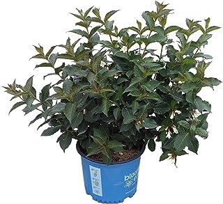 Premier Plant Solutions 20628 Tuxedo Bloomin Easy Weigela, 3 Gallon, Green-Purple