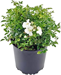 Flower Carpet Roses - Rosa White (Rose) Rose, double white flowers, #2 - Size Container