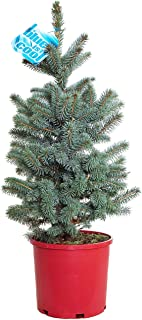 colorado blue spruce bonsai for sale