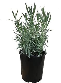 Lavender Grosso, 18121 Lavandula A. 'Grosso' 1 Gallon