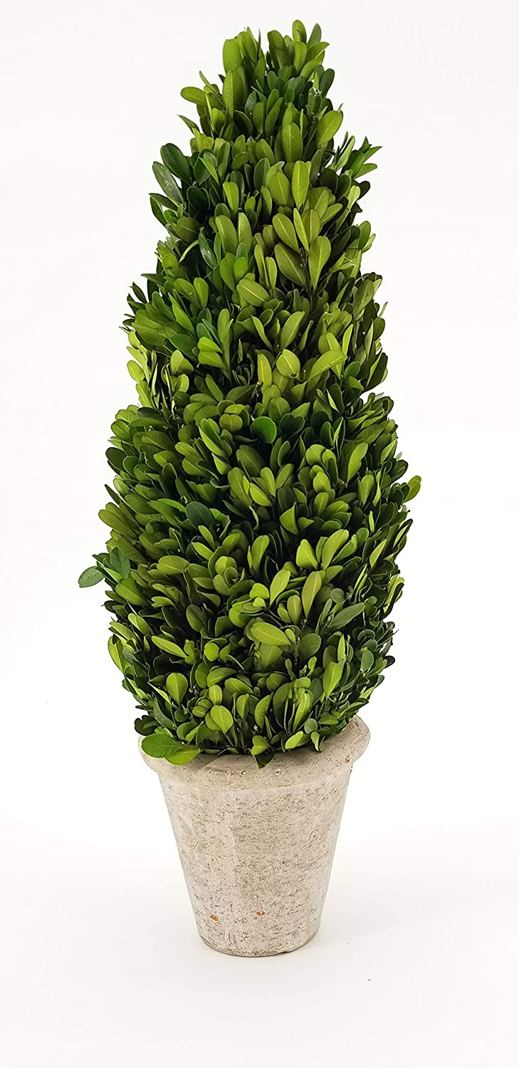 Tradingsmith San Francisco Mall Preserved List price Boxwood Cone Tree Topiary 20