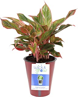 Costa Farms Siam Red Aglaonema (Chinese Evergreen) Wick & Grow Self-Watering System Live Indoor House Plant, 6