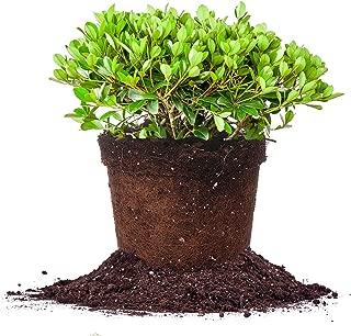 Best hawthorn berry plants for sale Reviews