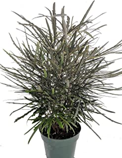 Mary Jane Japanese Threadleaf Aralia - Dizygotheca elegantissima - 6
