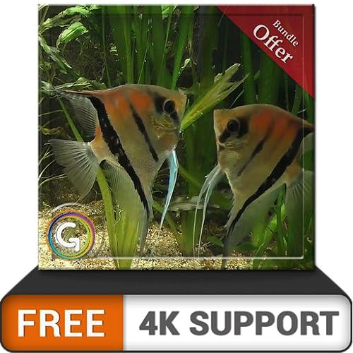 free couple fish aquarium HD - aproveite o romance de peixes em sua TV HDR 4K, TV 8K e dispositivos de fogo como papel de parede, decoração para férias de Natal, tema para mediação e paz