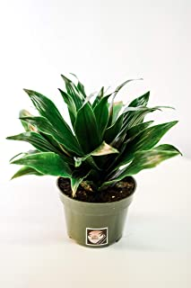 Pacific Tropicals & Succulents -Dracaena Compacta/Janet Craig-Live Indoor Plant- 4 inch Grow Pot-Homegrown