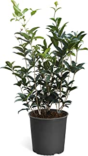 Fragrant Tea Olive Plants - Osmanthus Fragrans - The Most Fragrant Blooms! - 3 Gallon | No Shipping to AZ