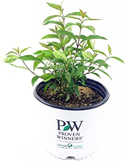 Proven Winners - Callicarpa x Purple Pearls (Beautyberry) Shrub, pink flowers, #3 - Size Container
