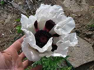 25 Oriental Poppy Flower Seeds. Royal Wedding. Papaver Orientale Seed