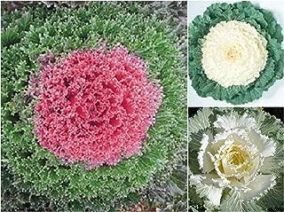 150 Mix Flowering Kale Cabbage Seeds Rare, Kamome Red Flowering Kale - White Flowering Kale - Osaka White Flowering Kale