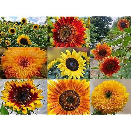 Farbenfrohe Sonnenblumen Samen mit hoher Keimrate 1x Abendsonne Blumensamen f/ür einen bunten /& bienenfreundlichen Garten