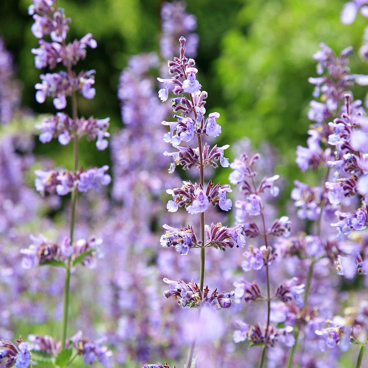 Special sale item Outsidepride Catnip Seed - Daily bargain sale OZ 1