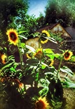 """Mark Pritchard Artworks Eureka Springs Collection""""Sunflowers"""" Stretched Canvas Giclee on Poplar Frame"""