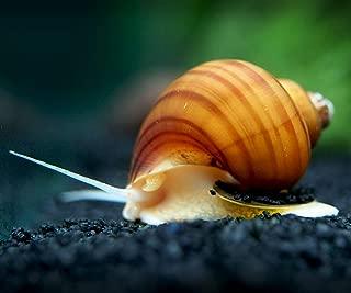 Aquatic Arts 3 Albino Mystery Snails (Pomacea bridgesii - 1/2 to 2+ inches) - Live Snails