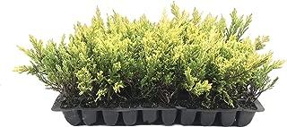Lime Glow Juniper - 3 Live Plants - Juniperus Horizontalis - Hardy Evergreen Ground Cover
