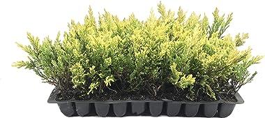 Lime Glow Juniper - 10 Live Plants - Juniperus Horizontalis - Hardy Evergreen Ground Cover