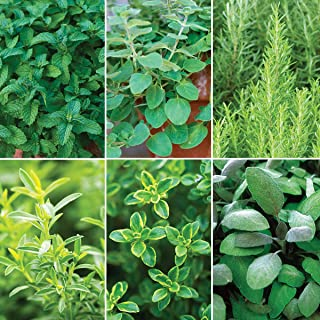 Burpee Mediterranean Delight' Herb Collection (Spearmint, Greek Oregano, BBQ Rosemary Winter Creeping,Common Thyme & Purple Sage), 6 Live Plants 2 1/2