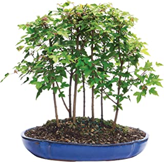Brussel's Bonsai Live Trident Maple Forest 7 Outdoor Bonsai Tree - 3 Years Old; 8