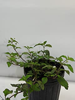 orozu Full Plant with Root