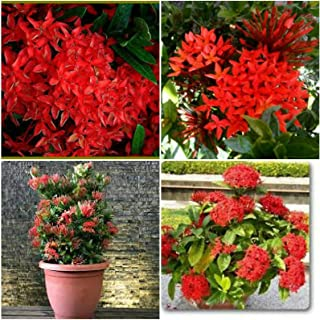 Dwarf Ixora Red Plant 5 to 7 Inches in A 4 Inches Pot#AST10