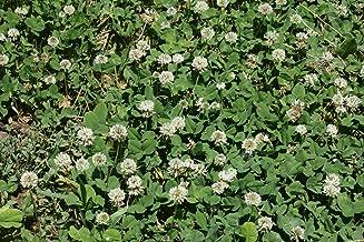 ENVIDESO White Dutch Clover Seed Cover Crop Legume Low Growing10K Bulk