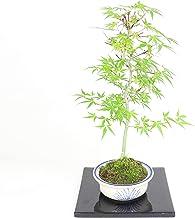 清香園 細く切れた葉が特徴の舞姫もみじ モミジの盆栽