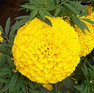 500 + Marigold Mexican Origin of Flower Seeds