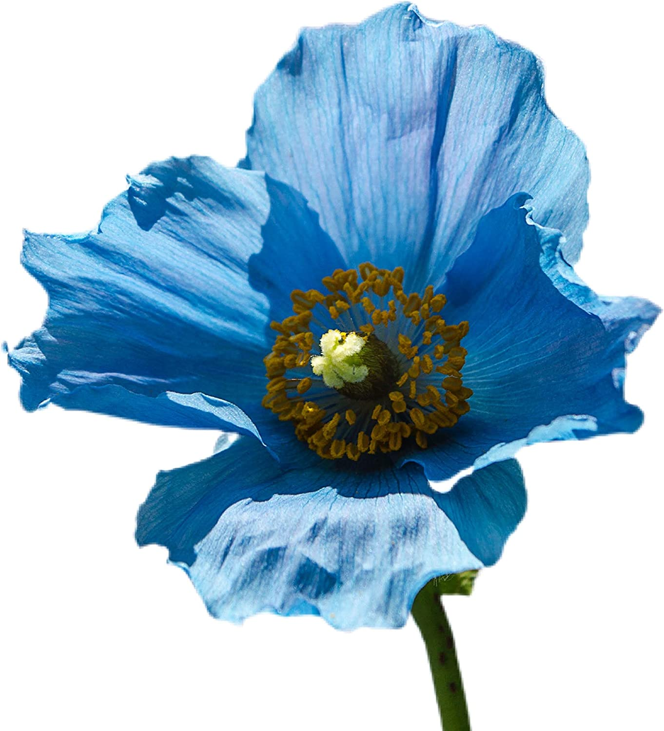 Ranking integrated 1st place Himalayan Poppy Seeds Heirloom Flower 1 GMO - Non High quality new +