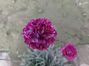 Perennial Armeria Maritima (Sea Thrift / Sea Pink) Rose Red 400 Seeds