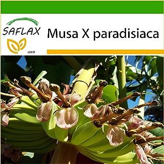 SAFLAX - Platanera - 10 semillas - Con sustrato estéril para cultivo - Musa X paradisiaca