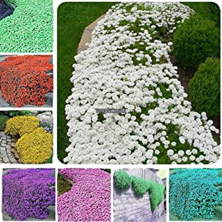 Portal Cool 20 Matthiola Incana Seeds Gillyflower Garden Fragrant Flower Mixed Colors T