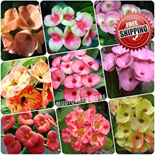 Go Garden 1: 100Pcs Crown of Thorns Seeds Euphorbia Milii Hybrid Mix Middle Seed Big Flowers