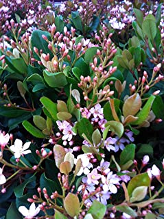 3 Gallon - Eleanor Taber Indian Hawthorne - Pink Blooming Evergreen Shrub - rhaphiolepis